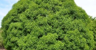 This Picture shows is Mango tree